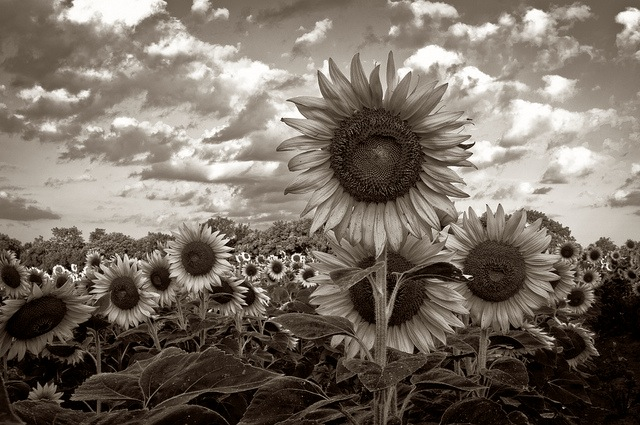 Sunflower Sepia